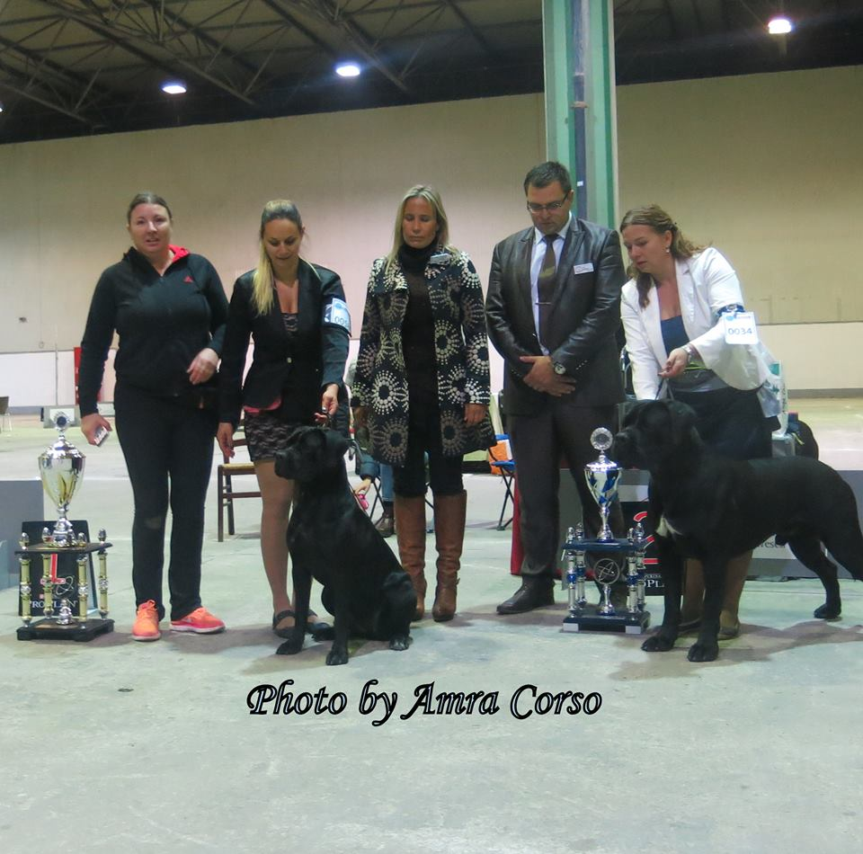 Judging World Club Show for Cane Corso - Germany 2017